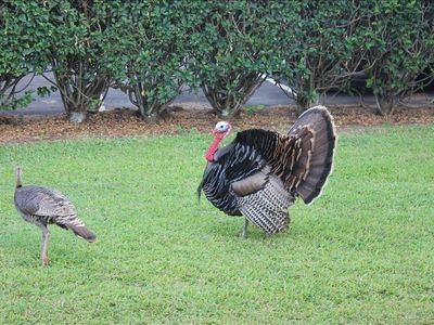 The resident turkeys always provide entertainment.