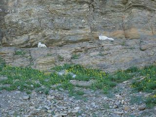 Young Mountain Goats in GLACIER PARK. Viewed as we drive by.