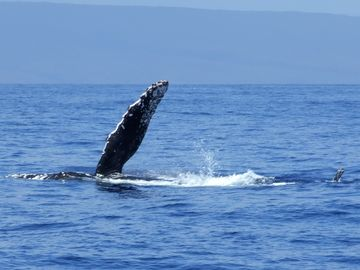 Best whale watching from December to April. Try the Pacific Whale Foundation.