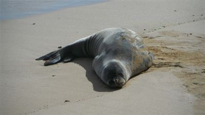 Endangered Monk seal..Poipu Beach Park. Best snorkeling..look for turtles