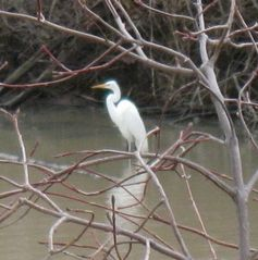 Sandusky cottage photo - Great White Egret
