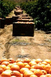 "The ""river"" of grapefruit at harvest time, in April and May."