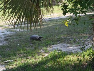 Sanibel Island house photo - Our resident Gopher Tortoise out for his afternoon constitutional