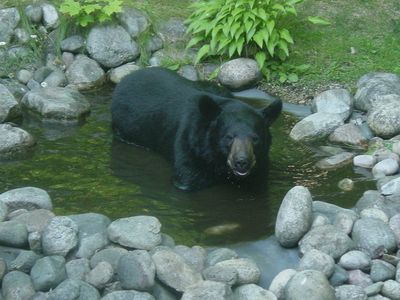 Bear enjoying a bath next to the cabin.