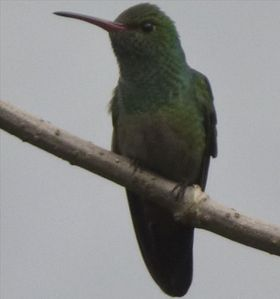 RUFOUS-TAILED HUMMINGBIRDS ARE COMMON VISITORS