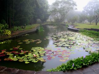 Paauilo cottage photo - lily pond
