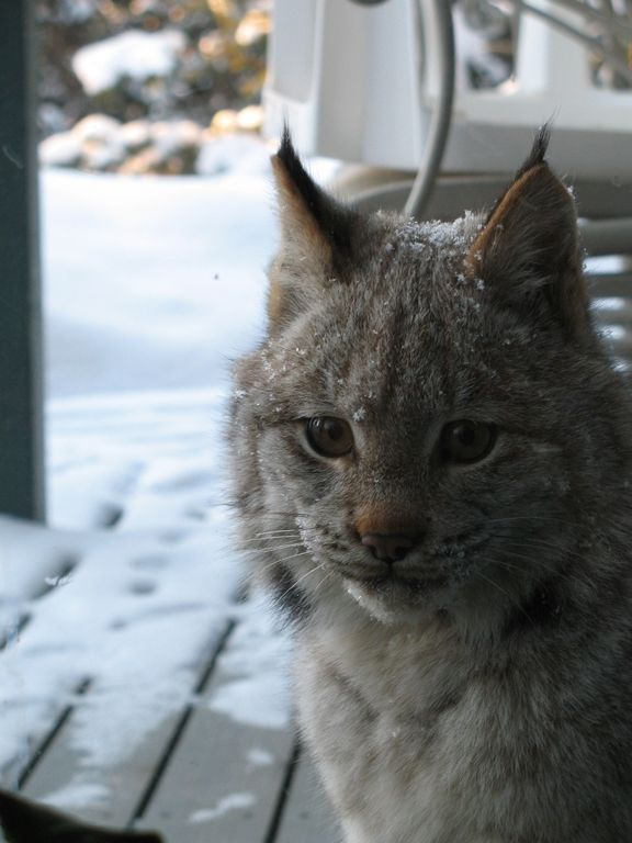 A Lynx visits in winter!