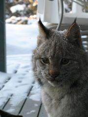 Anchorage house photo - A Lynx visits in winter!