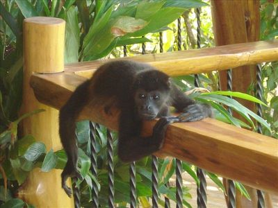 Wild life with howler monkey