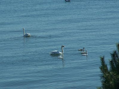 picture of swans on the lake taken from the sunroom window