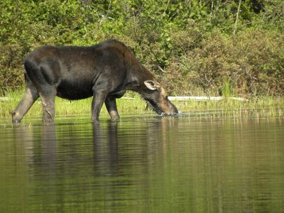 Moose in the Lake