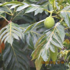 Ocho Rios house photo - Breadfruit tree