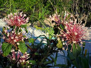 Staniel Cay cottage photo - Owner has terrific garden. picking fruit is allowed in season.