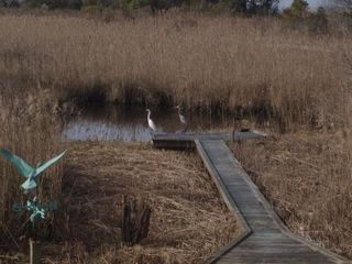 Virginia Beach farmhouse photo - Natural marsh pond in the back yard! With visitors!!