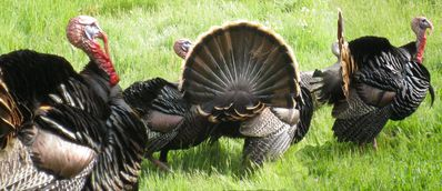 Our wild turkeys in the meadow.
