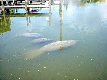 Manatee at our docks