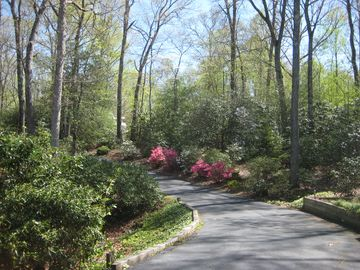 Azaleas and lilacs blooming in the driveway