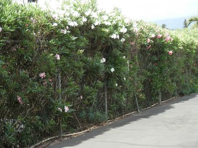 Oleander hedge surrounding Hale Kamaole.