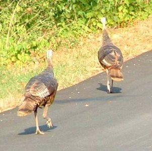 Wild Turkeys are a common sight year-round.