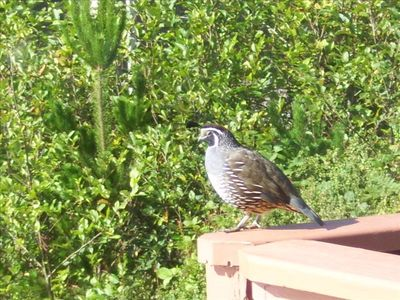 Local Fat Quail visiting our deck one morning