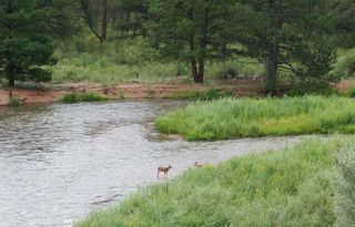 Woodland Park cabin photo - Mule deer in river