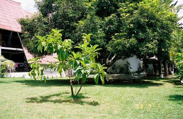 Our mango tree