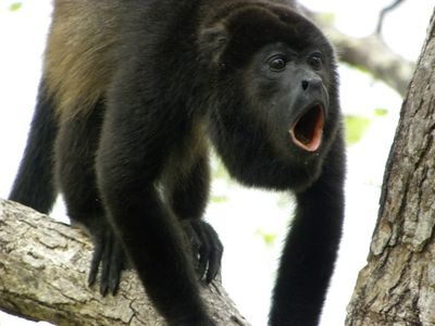 Male Howler Monkey by the Treehouse