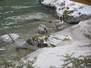 Stevens Pass cabin photo - Canadian Geese on the beach