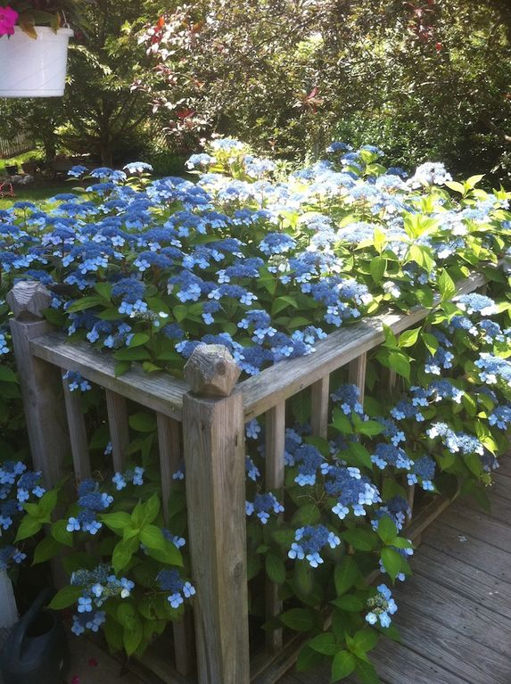 Surrounded with lace hydrangeas, our roomy BBQ back deck comes fully furnished.