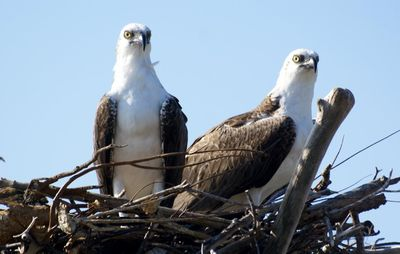 nesting ospreys on the island