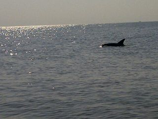 Tybee Island condo photo - Darling dolphins swim by right on your beach.