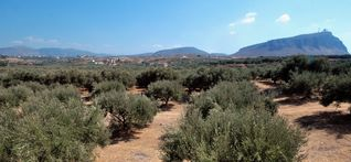 Gouves villa photo - The olive grove of our estate, from where our excellent olive oil is produced