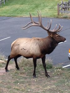 Beautiful Bull Elk on property--an everyday occurance in the late summer/fall.