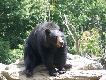 Visit Grandfather Mountain and see animals in a natural setting.