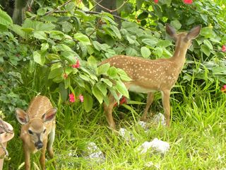 Big Pine Key house photo - A pair of key deer fawns in the yard under the cactus taken in the morning.