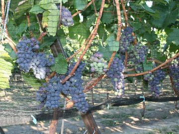 OUR PINOT NOIR COMPLETING VERAISON, SO PRETTY TO BEHOLD!