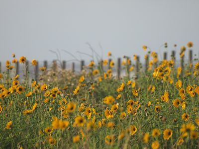 Sunflowers at the beach in the spring
