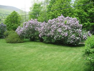 Arlington house photo - spring view of side yard, lilacs in bloom