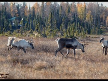 Soldotna bungalow rental - Our front yard! These are wild caribou that frequent our area during the summer.