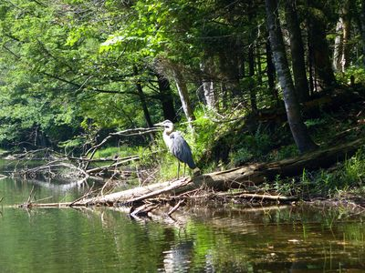 Great Blue Herons on the river