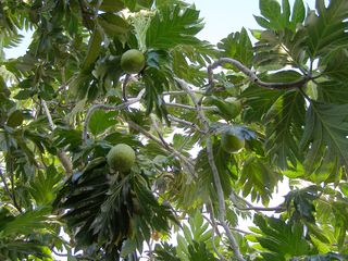 Vieques Island house photo - Breadfruit (pana)