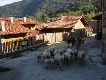 Herding sheep and cattle through the village