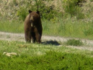 Polson house photo - One of our local friends looking for berries.