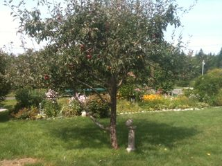 Southwest Harbor cottage photo - Apple tree with Pop's stone bunny