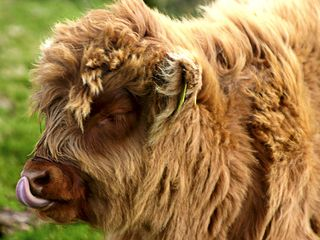 Oban, Isle of Mull & Lorn cottage photo - HIGHLAND CALF