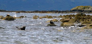 Seals at Scalpsie Bay