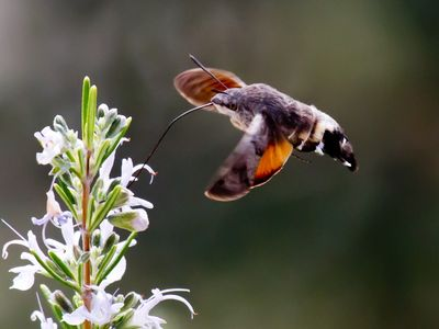 Hummingbird hawkmoth in the garden