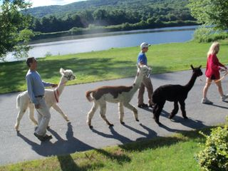 Springfield house photo - An Alpaca Parade