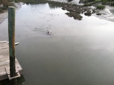 Dolphin Feeding at Low Tide - Photo from Dock