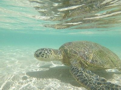One of the friendly guest in the crystal clear uncrowded Honu Lagoon